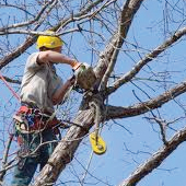 Cedar Grove Tree Service Professional Tree Faller